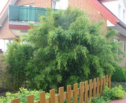 bambus pflanzen kaufen bambus kaufen bambus pflanzenshop. Black Bedroom Furniture Sets. Home Design Ideas