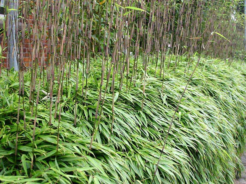 bambus pflanzenshop fargesia rufa original kaufen. Black Bedroom Furniture Sets. Home Design Ideas