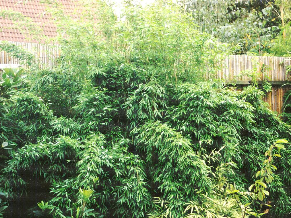 bambus pflanzenshop fargesia denudata bambus des. Black Bedroom Furniture Sets. Home Design Ideas