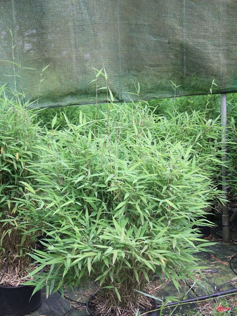 bambus pflanzenshop fargesia murielae 39 freds mini 39 kaufen. Black Bedroom Furniture Sets. Home Design Ideas