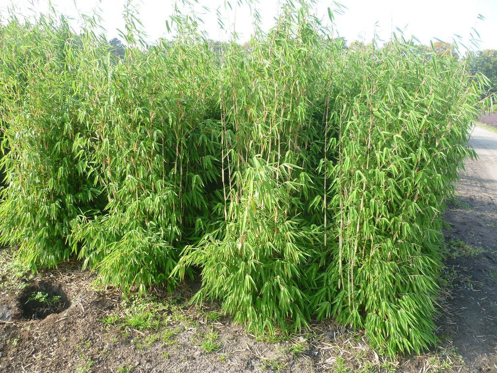 bambus pflanzenshop fargesia 39 evergreen 39 kaufen. Black Bedroom Furniture Sets. Home Design Ideas