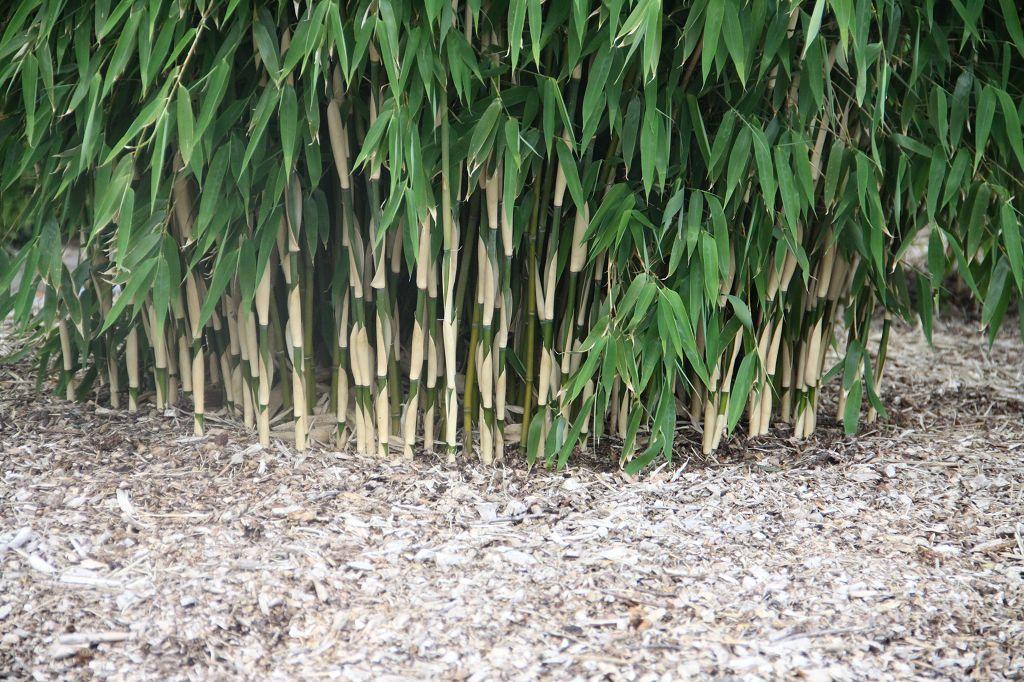 Bambus pflanzenshop fargesia 39 evergreen 39 kaufen for Evergreen pflanzen